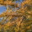Larch Tree Needles — Stock Photo