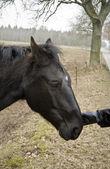 Cavallo nero — Foto Stock