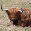 Scottish Highland Cattle — Stock Photo