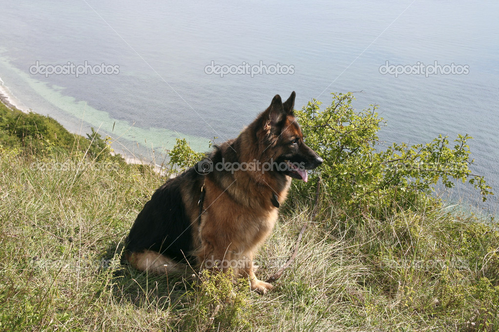 German shepherd dog at the coast on a summer day — Stock Photo #9163556