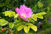 Pink flower with green background — Stock Photo