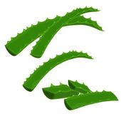 Aloe-vera — Stock Vector