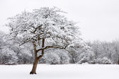 Lone snow covered tree stands out from the forest — Stock Photo