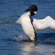 Common loon spreads his wings — Stock Photo #8650961