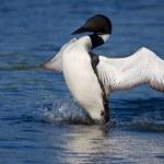 ortak loon kanatlarını yayılıyor — Stok fotoğraf