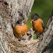 Royalty-Free Stock Photo: Robins feed their young