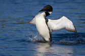 Common loon spreads his wings — Stock Photo