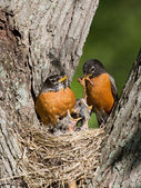 Robins feed their young — Stock Photo