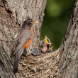 Baby robin screams in hunger — Stock Photo
