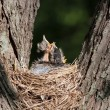 Stock Photo: Three Robins in a Nest