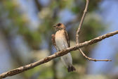 Perched northern rough-winged swallow — Stock Photo