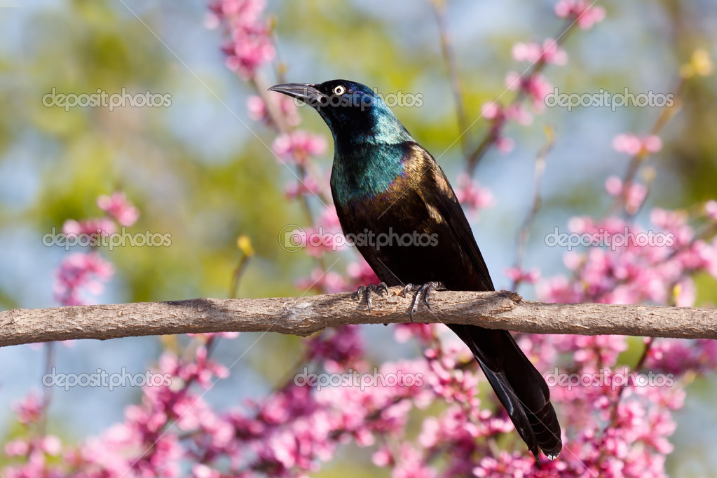 Grackle proudly perches on a branch. pink buds of a redbud tree mix well with its green leaves and the blue sky making a beautiful pastel background — Stock Photo #8832723