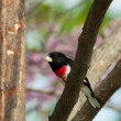 Hiding rose-breasted grosbeak — Stock Photo