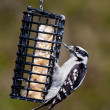 Downy woodpecker hanging on a suet feeder — Stock Photo