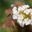 Brown skipper on a butterfly bush — Stock Photo