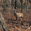 Deer buck posing in woodlands — Stock Photo #9000535