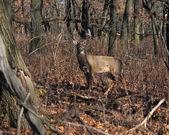 Deer buck posing in the woodlands — Stock Photo