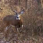 Deer raises leg to warn intruder — Stock Photo #9020813