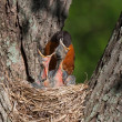 Mother Robin With Head in Mouth of Baby — Stock Photo