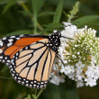 Monarch sips nectar from butterfly bush — Stock Photo #9239999
