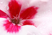Geranium covered in dewdrops — Stock Photo