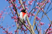 Perched rose breasted grosbeak — Stock Photo