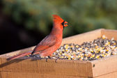 Cardinal at the feeder eating sunflower seeds — Stock Photo