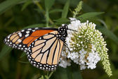 Monarch sips nectar from butterfly bush — Stock Photo