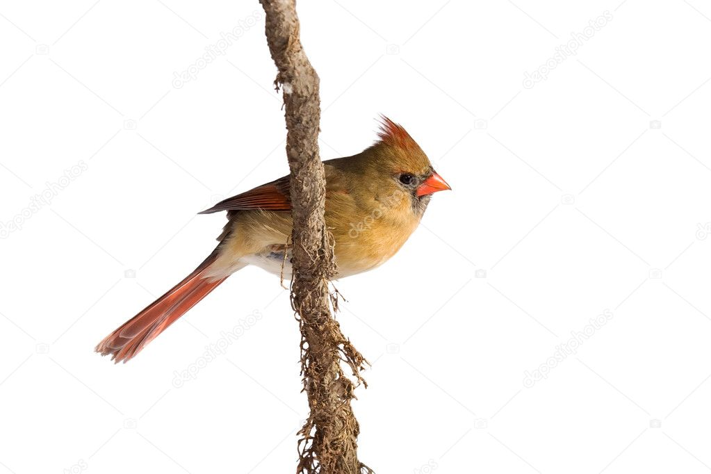 Female cardinal rests on a shreaded vine, white background  Stock Photo #9239388