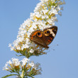 Постер, плакат: Common buckeye butterfly rests on a butterfly bush