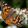 Painted lady rest on a butterfly bush — Stock Photo #9399151