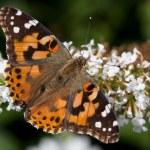 Geverfde Dame rust op een butterfly bush — Stockfoto #9399151