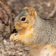 Eastern gray squirrel munches on seeds — Stock Photo