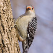 Red-bellied woodpecker on a tree trunk — Stockfoto