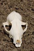Sunbaked animal skull on parched ground — Stock Photo