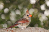 Female cardinal peers back — Stock Photo