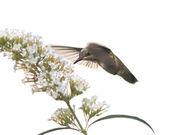 Hummingbird feeds on a butterfly bush — Stock Photo