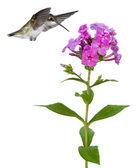Hummingbird floats over a phlox — Stock Photo