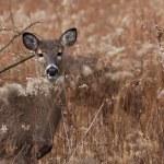 Deer posing in the woodlands — Stock Photo