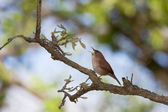 Singing house wren — Stock Photo