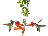 Hummingbirds feed at a trumpet vine — Stock Photo