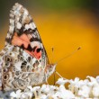 Постер, плакат: Common buckeye butterfly feeds on a butterflybush