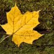 Yellow maple leaf slowly changes from yellow to brown — Stock Photo #9520936