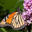 Monarch butterfly feeding on a butterfly bush — Stock Photo #9521049