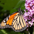 Monarch butterfly feeding on a butterfly bush — Stock Photo