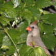 Female cardinal takes a peek — Stock Photo