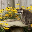 Stock Photo: Raccon drins from daisy surrounded birdbath