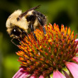 Bumble bee on a cone flower — Stock Photo