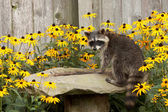 Raccon drins from daisy surrounded birdbath — Stock Photo