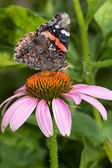 Red admiral atop a purple cone flower — Stock Photo